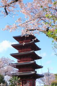 春詣2017「五重塔と桜」 - PHOTO Cruise