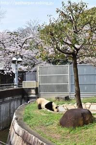 2017年4月 王子動物園 その1 お花見 - ハープの徒然草