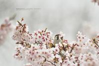 染井吉野、Japanese statusに戯れる - healing-bird