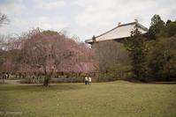 今年のおかっぱ桜 - TAKE IT EASY