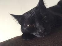 こっち見ながら寝落ち猫 - にゃんこと暮らす・アメリカ・アパート