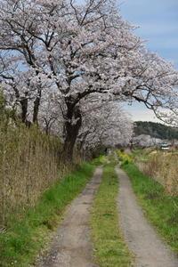 今井の桜 4月12日 - pottering