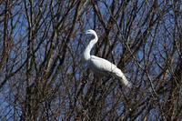 巣材運び、、 - ぶらり探鳥