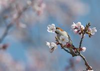 桜にニュウナイスズメ - 今日も鳥撮り