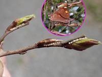 テングチョウの卵塊 - 秩父の蝶