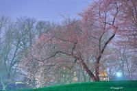 静寂の夜桜 - Triangle NY