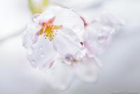 儚き花の雫 - ひつじ雲日記