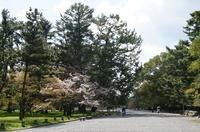 春始動。。。。御所の山桜、新緑。 - 出町隠居のつれづれ草