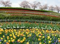 古墳に咲く鬱金香(Tulips and Tumuluses) - ももさへづり*やまと編*cent chants d'une chouette (Nara)