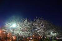ヴェルニー公園の桜 6 - 素顔のままで