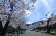 桜並木 4月13日(木) - しんちゃんの七輪陶芸、12年の日常