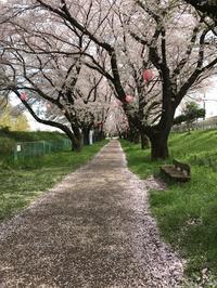 ●桜・さくら・サクラ・・・ - 太陽と大地のエクボ3