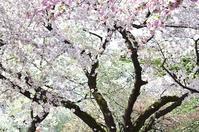 今日のさくら 4月12日@新宿御苑(1) 競艶 - 今日の小さなシアワセ