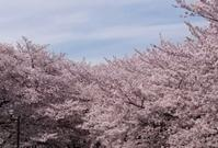 2017、櫻、咲く。-拾伍:高井戸の河辺にて - デハ712のデジカメ日記2017