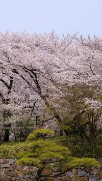 松と桜 - minamiazabu de 散歩 with FUJIFILM