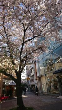 桜満開! - 新京極 カフェ はんなりかふぇ・京の飴工房 「憩和井(iwai)新京極店」
