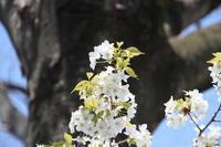 北柏ふるさと公園の桜 - 亢竜悔いあり