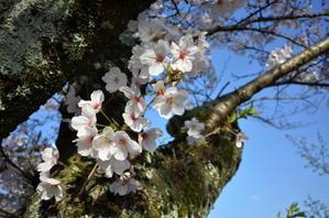 青空に桜 - プリごろ太日記
