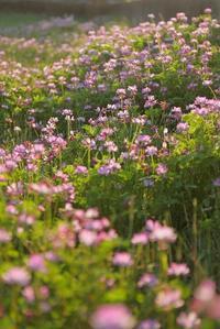 レンゲ畑で道草 - 「美は観る者の眼の中にある」