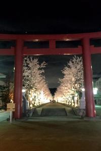 鎌倉 桜巡り 段かずら - パームツリー越しにgood morning        アロマであなたの今に寄り添うブログ