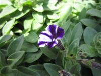 初夏の花 ペチュニア - ブランシュのはなたち