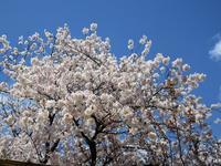【鎌倉】鶴岡八幡宮の桜と牡丹 - お散歩アルバム・・春爛漫