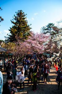 奈良一番桜2017 #02 - noBBy's *PhotoLabo*