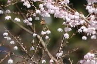 春の里山の蝶たち(神奈川県、20170412) - Butterfly & Dragonfly