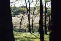 Sakura @Tateoka - HARELu