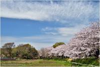 見沼の桜 - muku3のフォトスケッチ