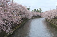 ご近所川沿いの桜も満開♪ 1 - Let's Enjoy Everyday!