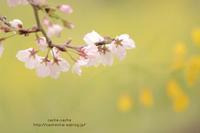 春うらら - cache-cache