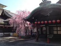 京都さくらたより〜祇園の今朝 - MOTTAINAIクラフトあまた 京都たより