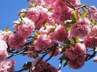 満開の八重桜とリラ、キングサリ、藤! - フランス Bons vivants idees d'aujourd'hui