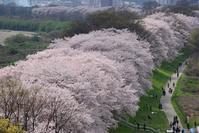 桜並木を歩く  京都背割堤の桜 - 峰さんの山あるき
