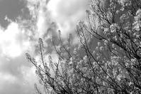 桜端月 寫誌 ⑩ 菜ばなのある風景 - le fotografie di digit@l