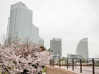 4/9、横浜の桜 - 某の雑記帳