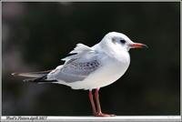 ユリカモメ 若の冬羽 - 野鳥の素顔 <野鳥と・・・他、日々の出来事>