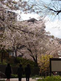 神田明神ヨコ:宮本公園の桜 (2017/4/13) - わが愛しのXXX。