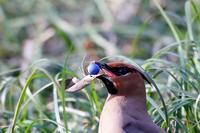 竜のひげの実を食べるヒレンジャク - T/Hの野鳥写真-Ⅱ