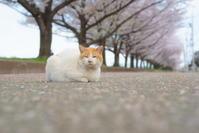 桜の下の猫 - 幸せな写真時間