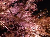 ★桜満開♪★ - やいやい畑