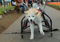 車いすで出かけよう! - 秋田犬「大和と飛鳥丸」の日々Ⅱ