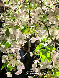 造幣局の桜の通り抜け(4月13日夜)  @大阪 - 趣味とお出かけの日記