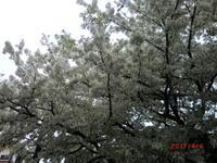 2017  成城桜まつり ♪ - 良かった~探しの人生