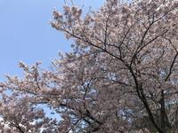満開の桜を求めて〜北山貯水池 - 宝塚マドン