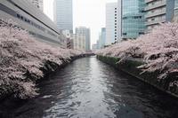 目黒川の桜散りゆく - 光の音色を聞きながら Ⅱ