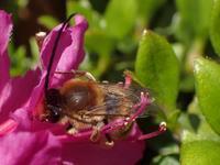 ニッポンヒゲナガハナバチ ♂ Eucera nipponensis - 写ればおっけー。コンデジで虫写真