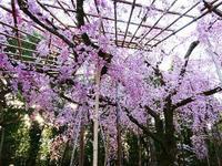 平安神宮 桜 - NATURALLY