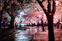 桜散る雨の鶴舞公園 - え~えふ写真館